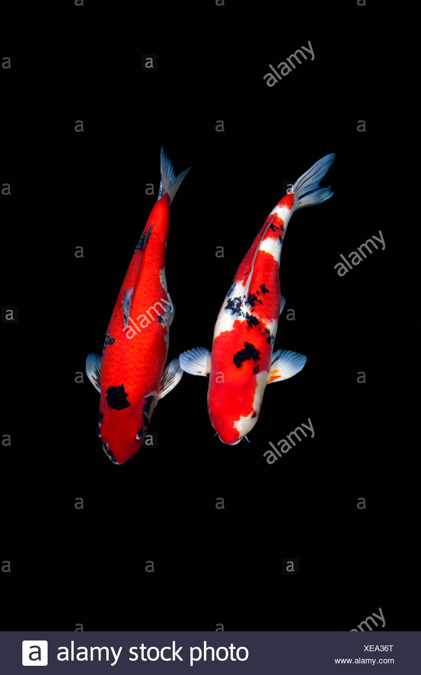 Two Koi Fish Stock Photos & Two Koi Fish Stock Images - Alamy