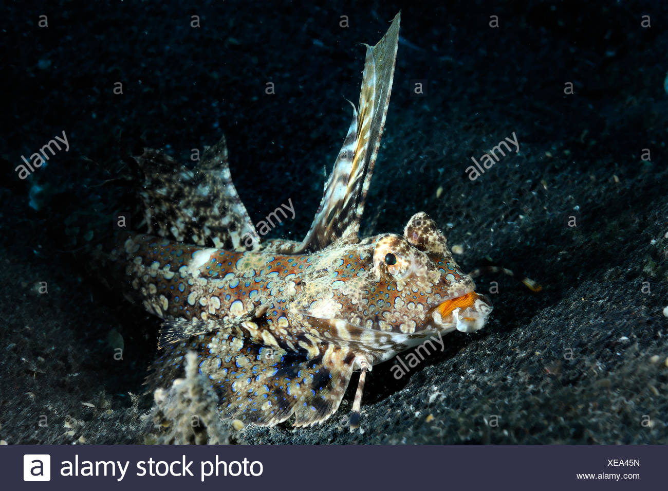 The Flying gurnard has extremely large pectoral and pelvic fins, and with his pelvic fins he walks across the bottom - Stock Image