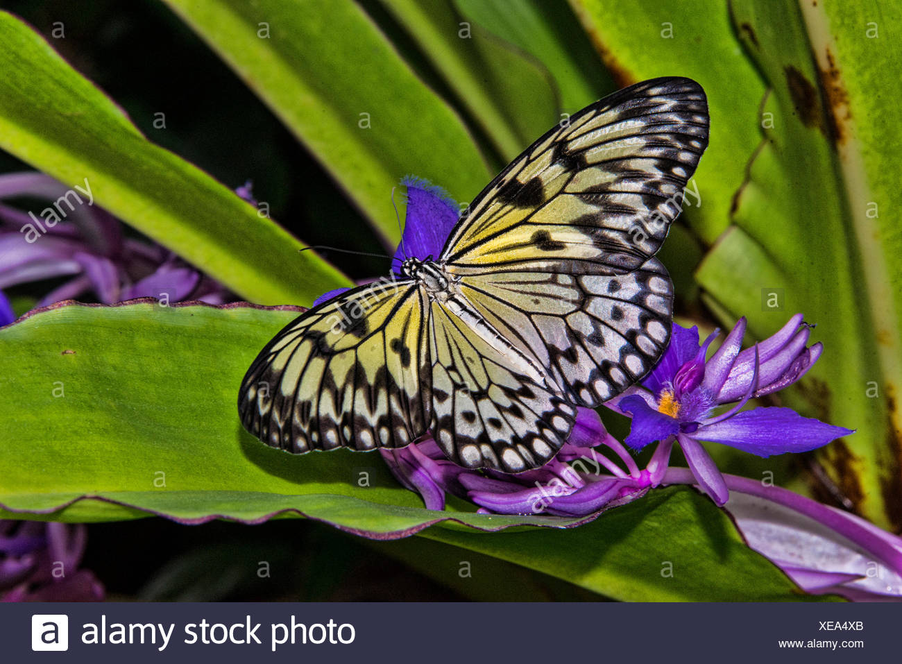 white tree nymph butterfly, Idea leuconoe - Stock Image