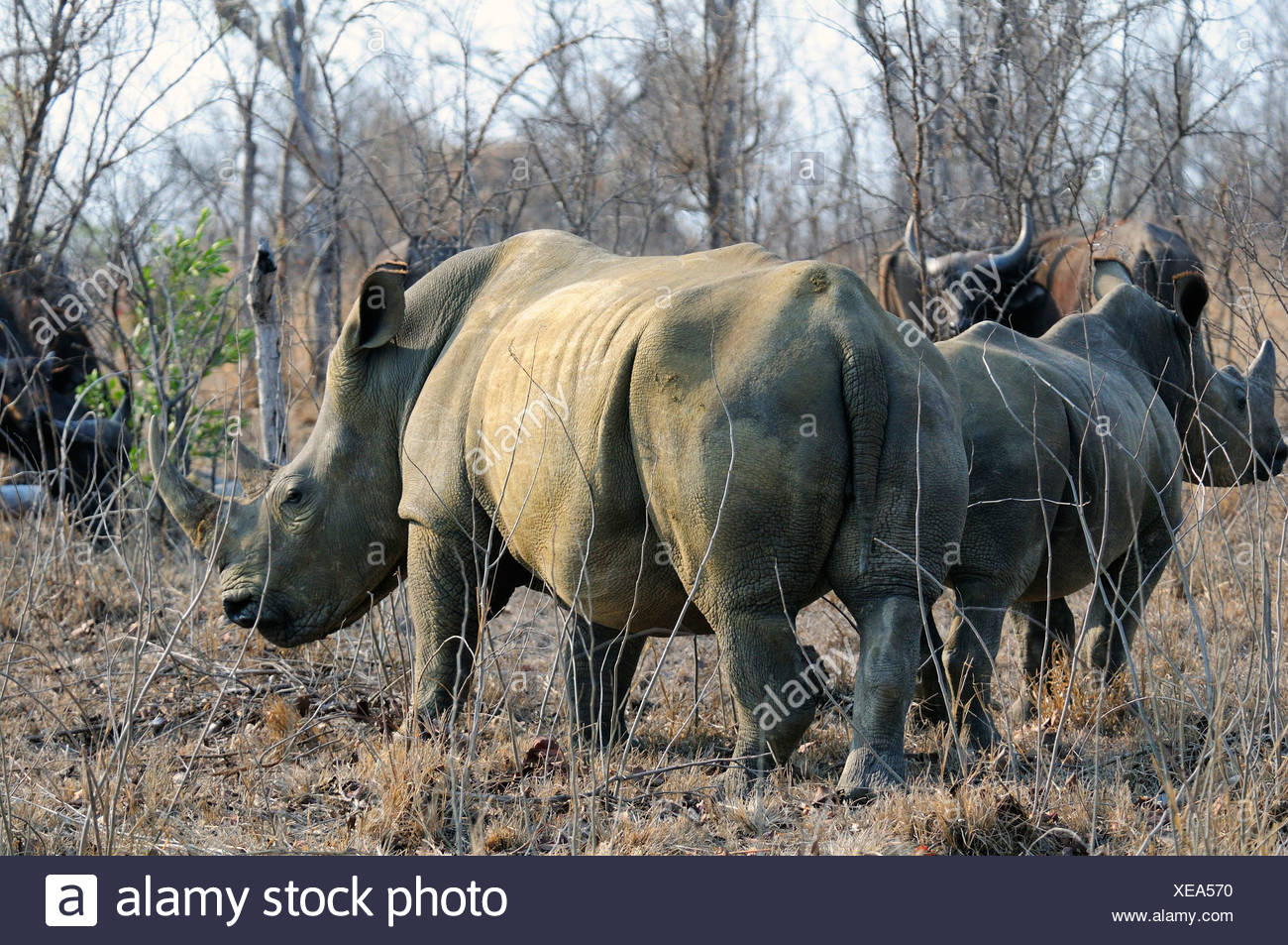 White Rhinoceros Ceratotherium simum Ulusaba Sir Richard Branson's Private Game Reserve Sabi Sands Game Reserve Mpumalanga - Stock Image