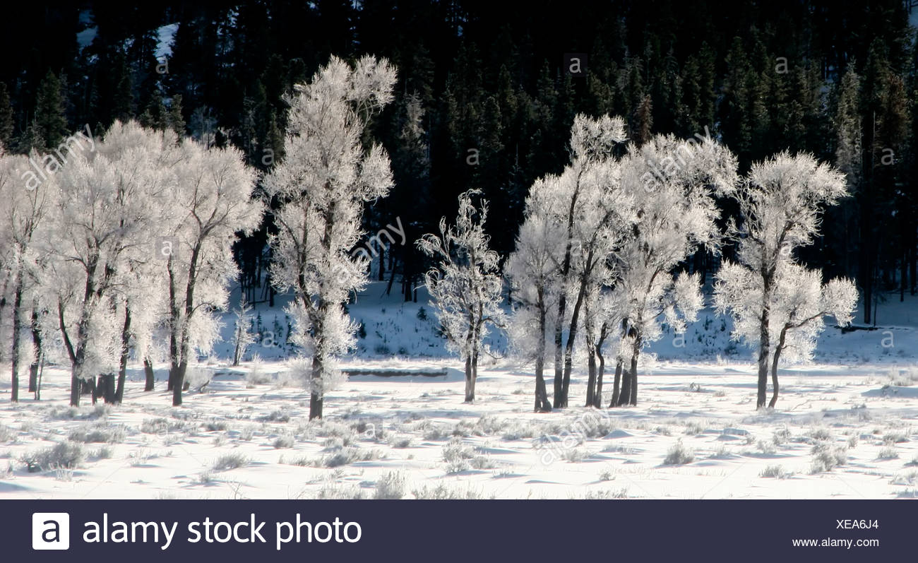 Frosty Trees - Stock Image