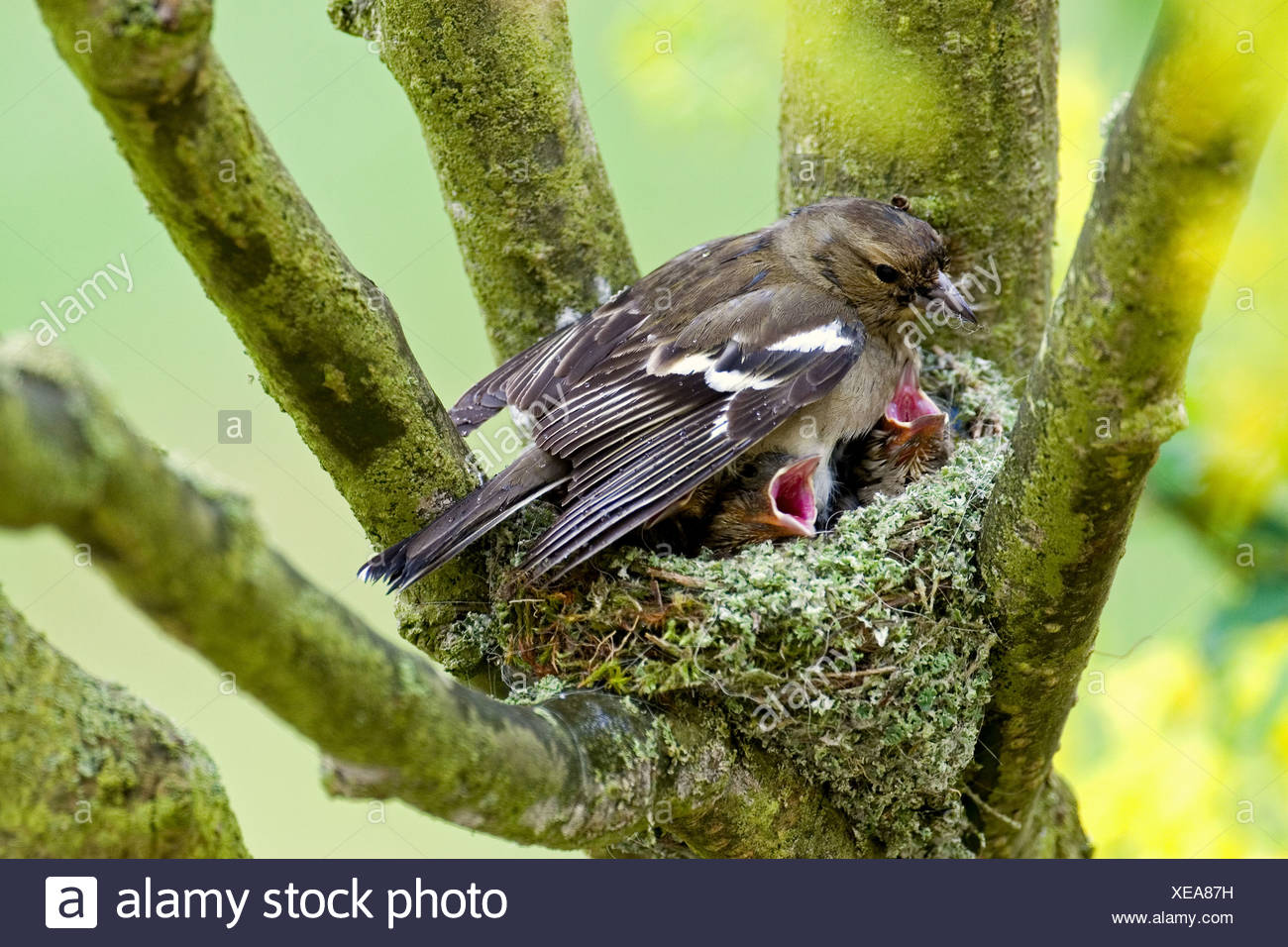 chaffinch (female) with fledglings in nest / Fringilla coelebs - Stock Image