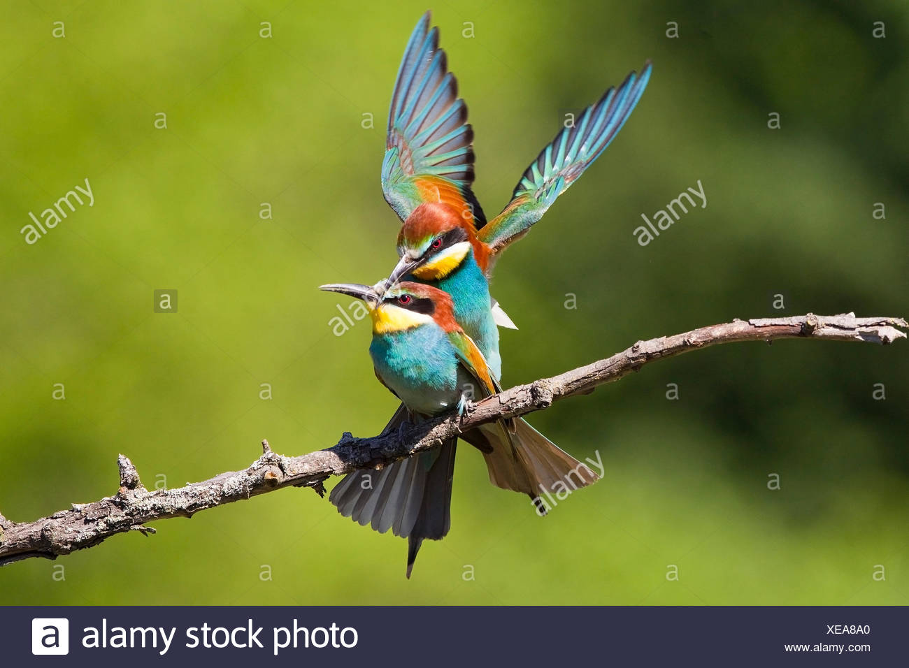 Mating European Bee-eaters on Branch - Stock Image