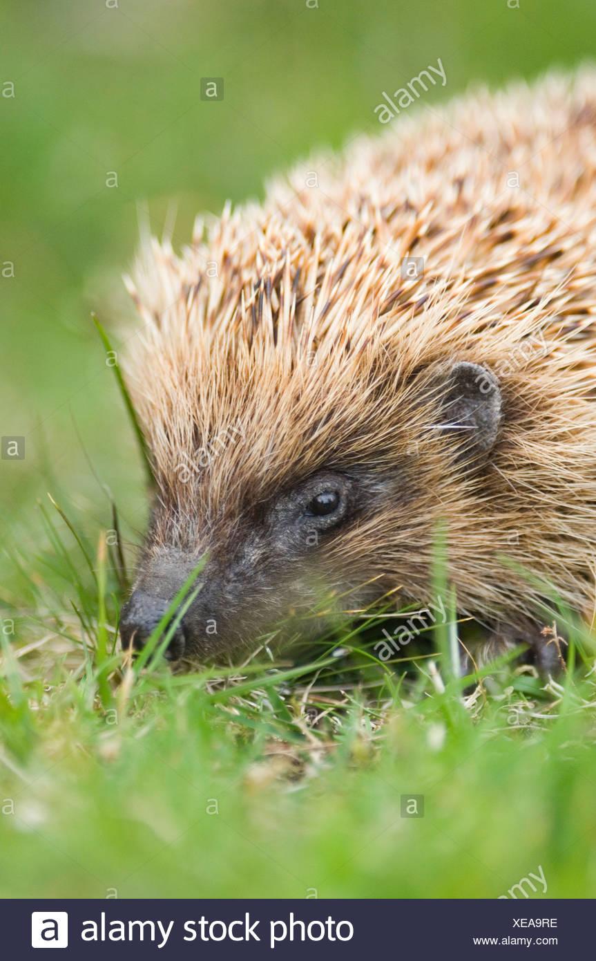 Hedgehog in garden UK summer - Stock Image