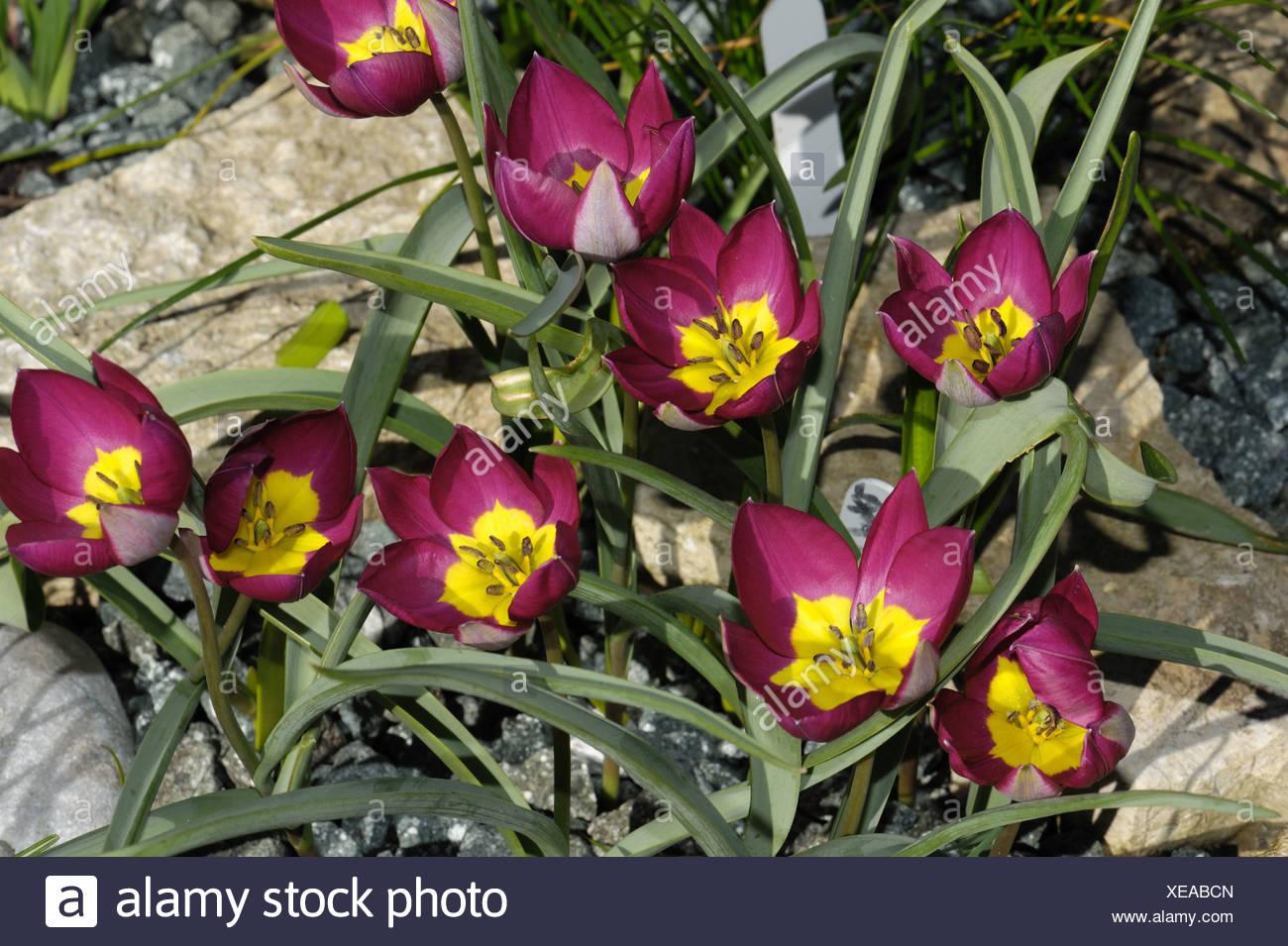 Flowers of species tulip Tulipa pulchella Persian Pearl - Stock Image