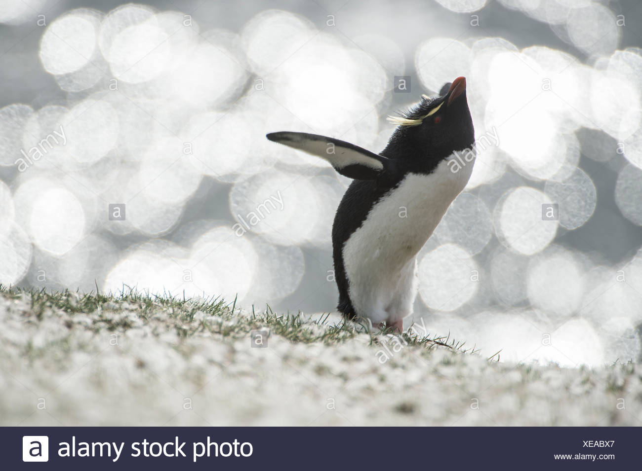 A rockhopper penguin, Eudyptes chrysocome, in front of glistening sea. - Stock Image