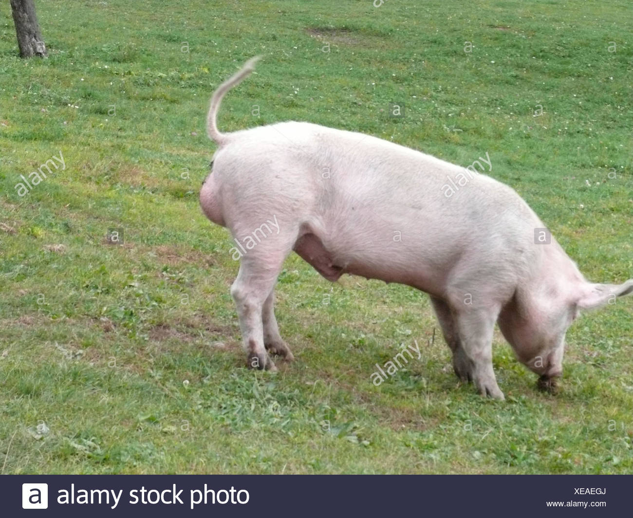 Pig, meadow, hillside, neutral-finishes, animal, mammal, usefulness-animal, house-pig, animal husbandry, cattle-raising, animal-attitude, artgerecht, pink, boars, male, outside, - Stock Image