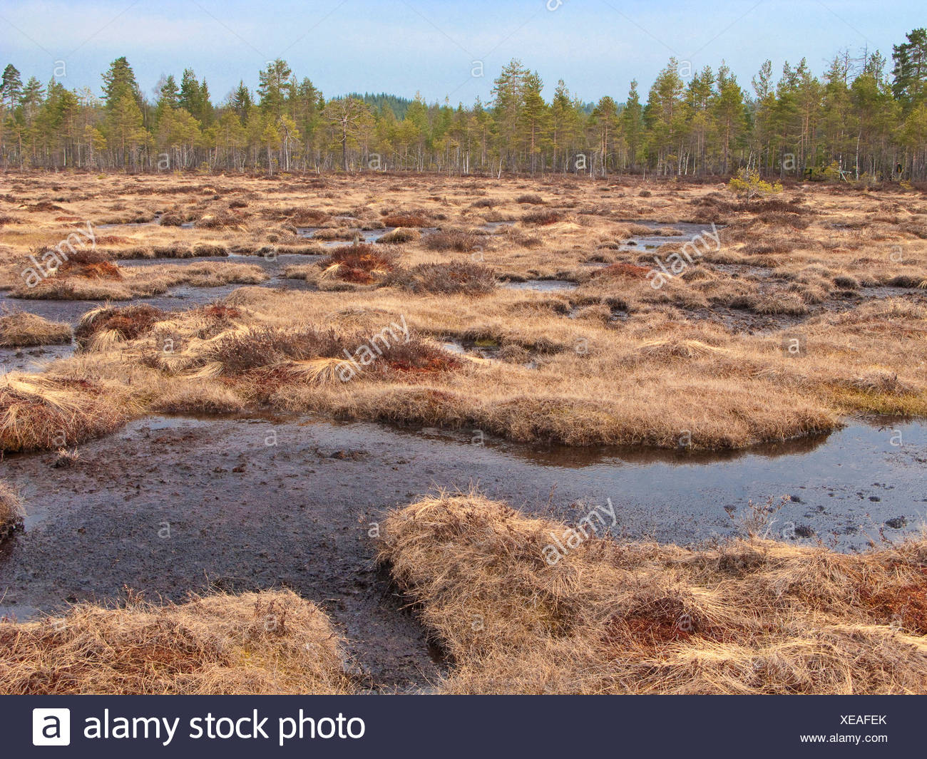 hill moor with pine wood, Norway - Stock Image