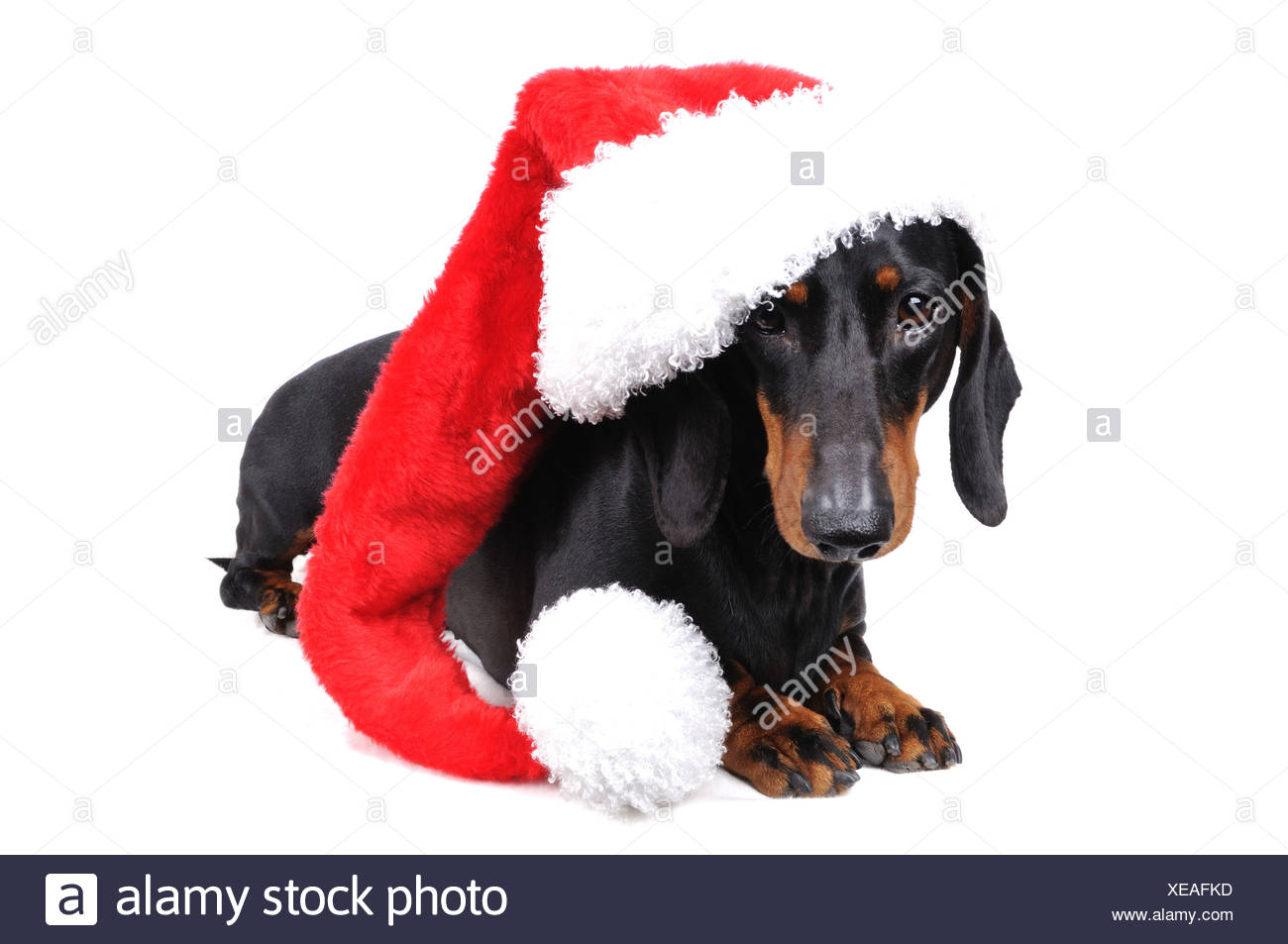 short haired dachshund short haired sausage dog domestic dog canis lupus - Christmas Dachshund