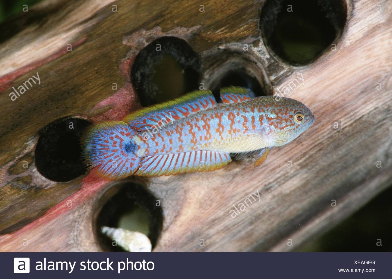 Eye-spot sleeper, Peacock gudgeon, Peacock goby (Tateurndina ocellicauda) - Stock Image
