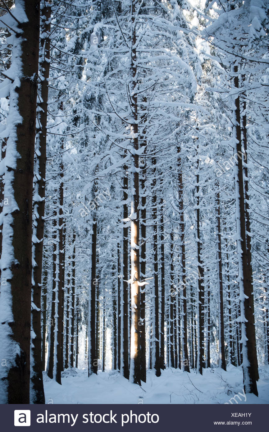 Spruces wood waste forest in the snow - Stock Image