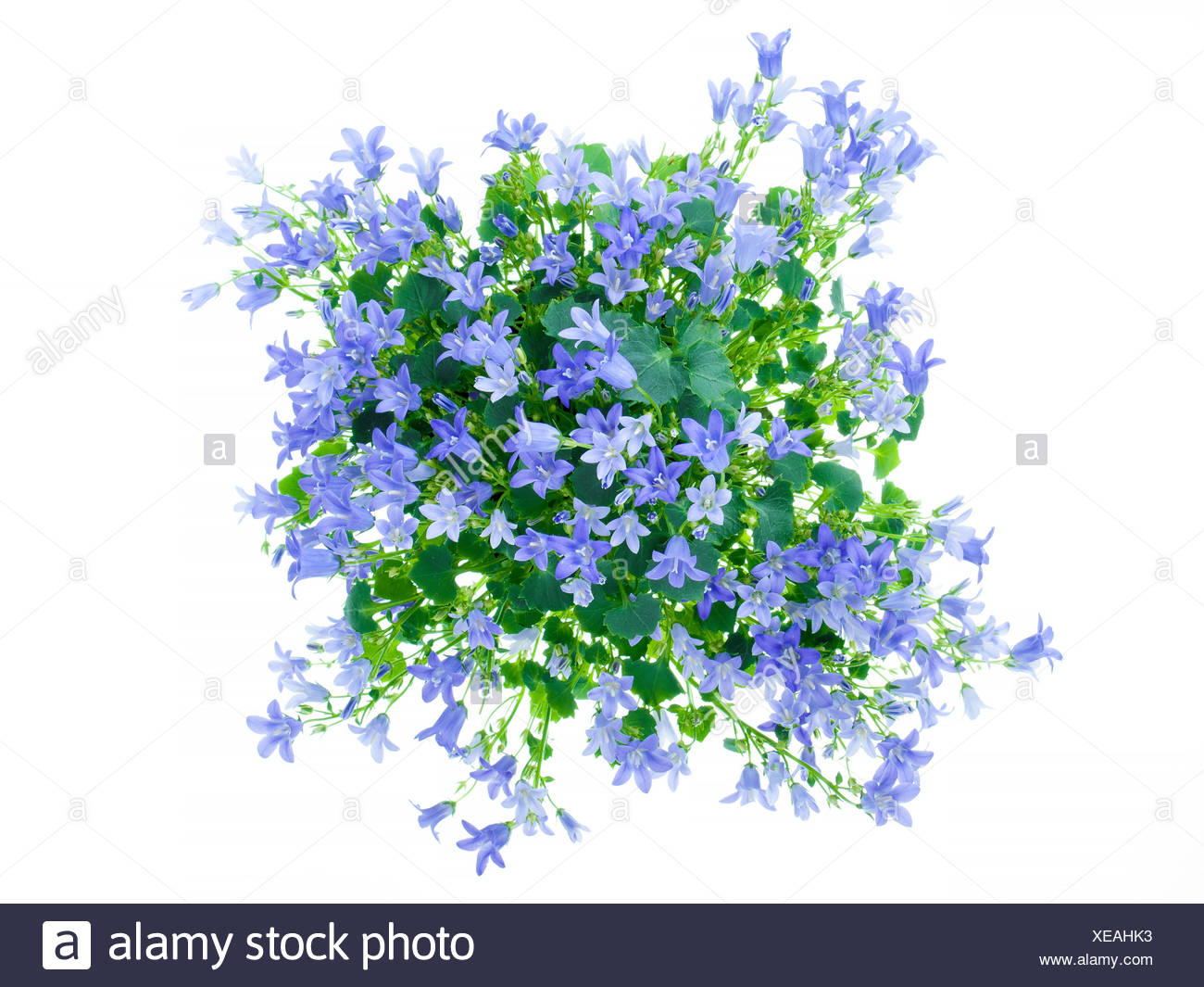 Blue Flowers Stock Photos Blue Flowers Stock Images Alamy