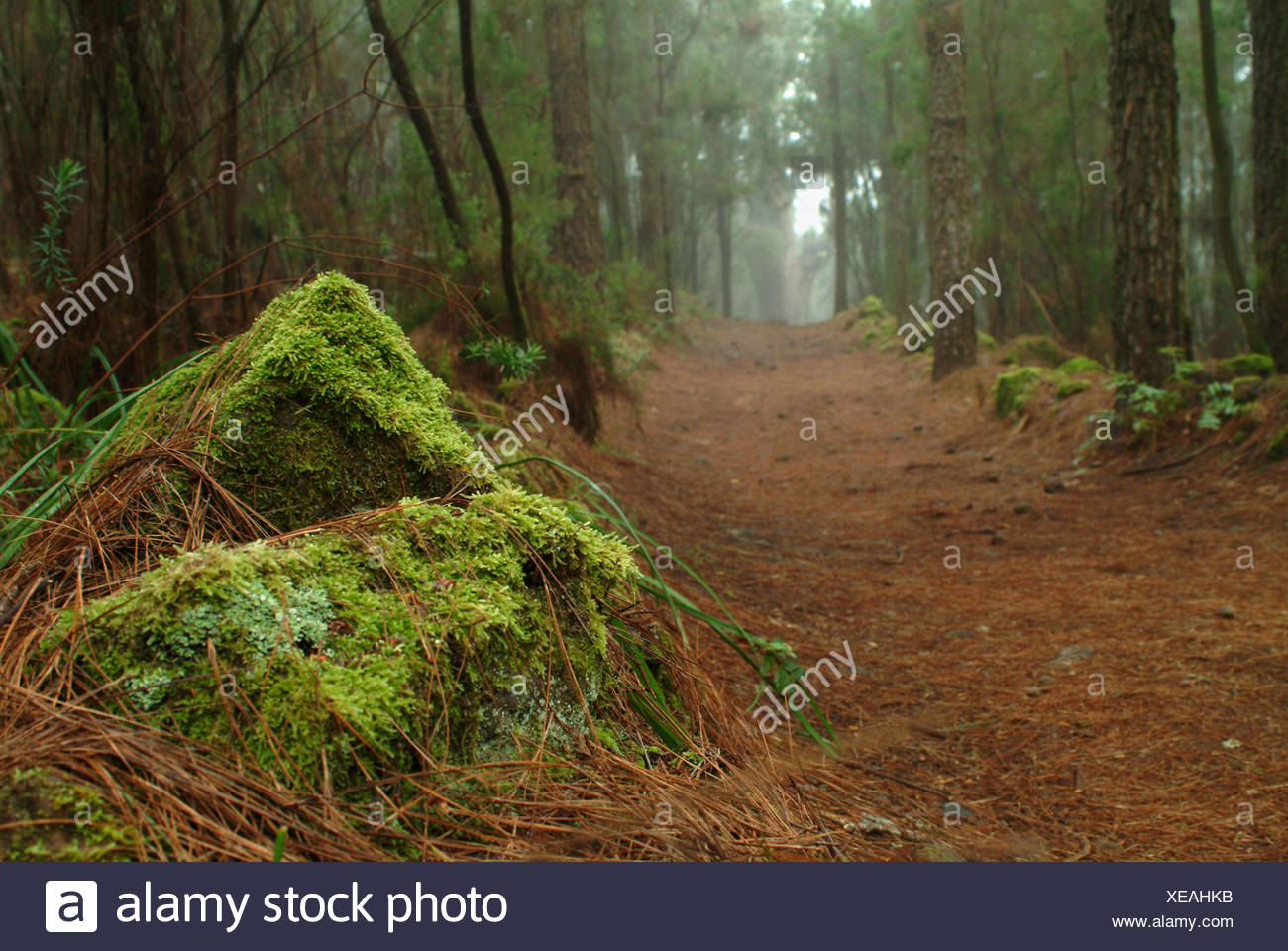 Plants, damp wood, Tenerife, the Canaries, - Stock Image