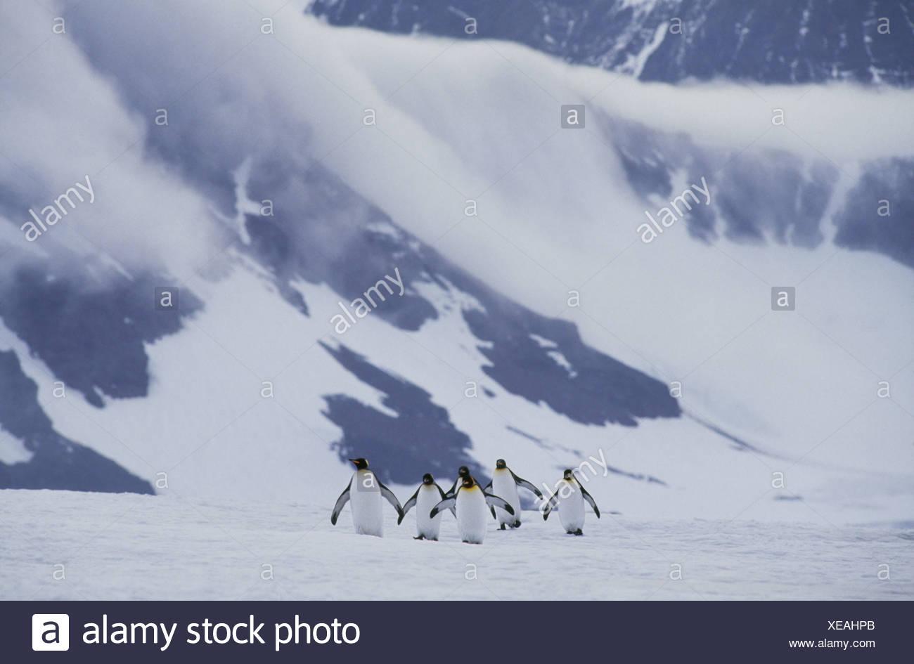 South Georgia Island King penguins crossing ice Aptenodytes patagonicus - Stock Image