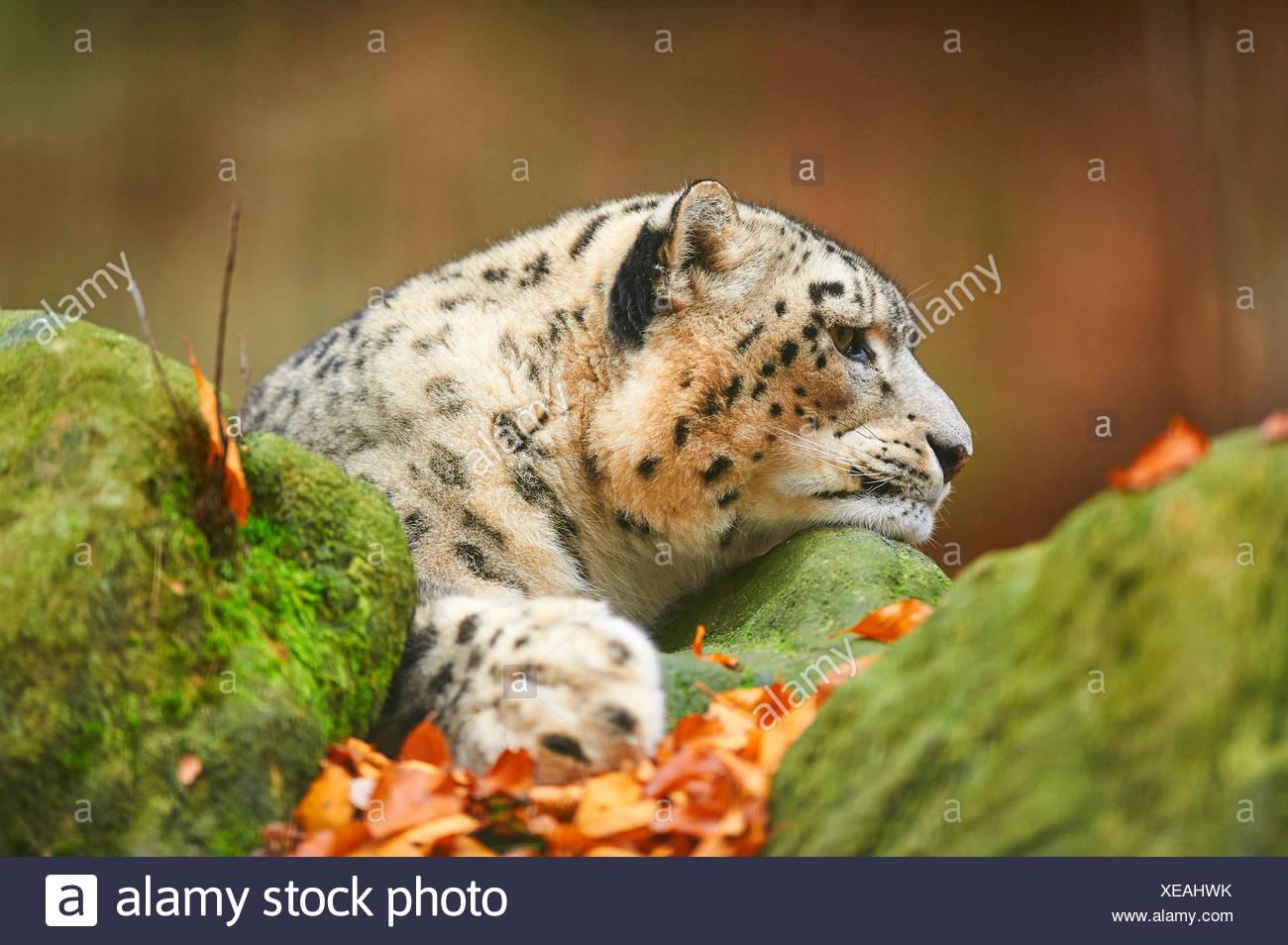snow leopard (Uncia uncia, Panthera uncia), snow leopardess resting on a mossy boulder, portrait - Stock Image