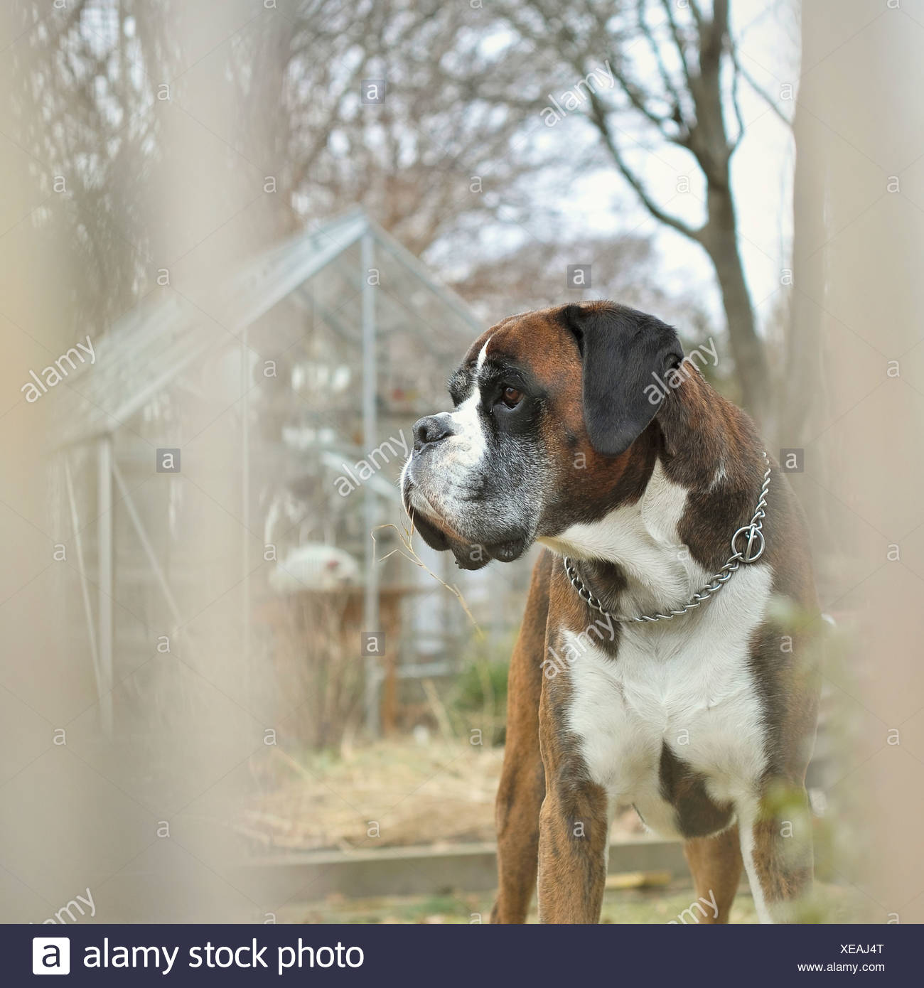 Close-up of brown dog looking away - Stock Image
