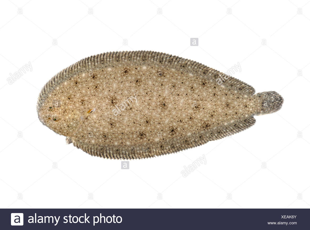 Sand Sole - Pegusa lascaris - Stock Image