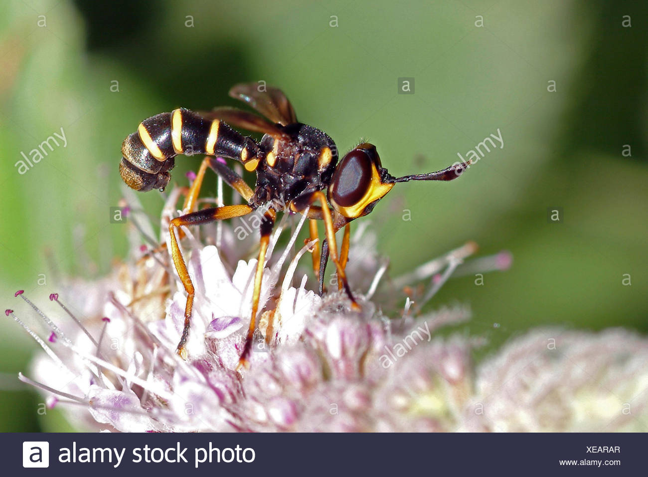 Conopid fly (Conops quadrifasciatus), on lilac flower, Germany - Stock Image