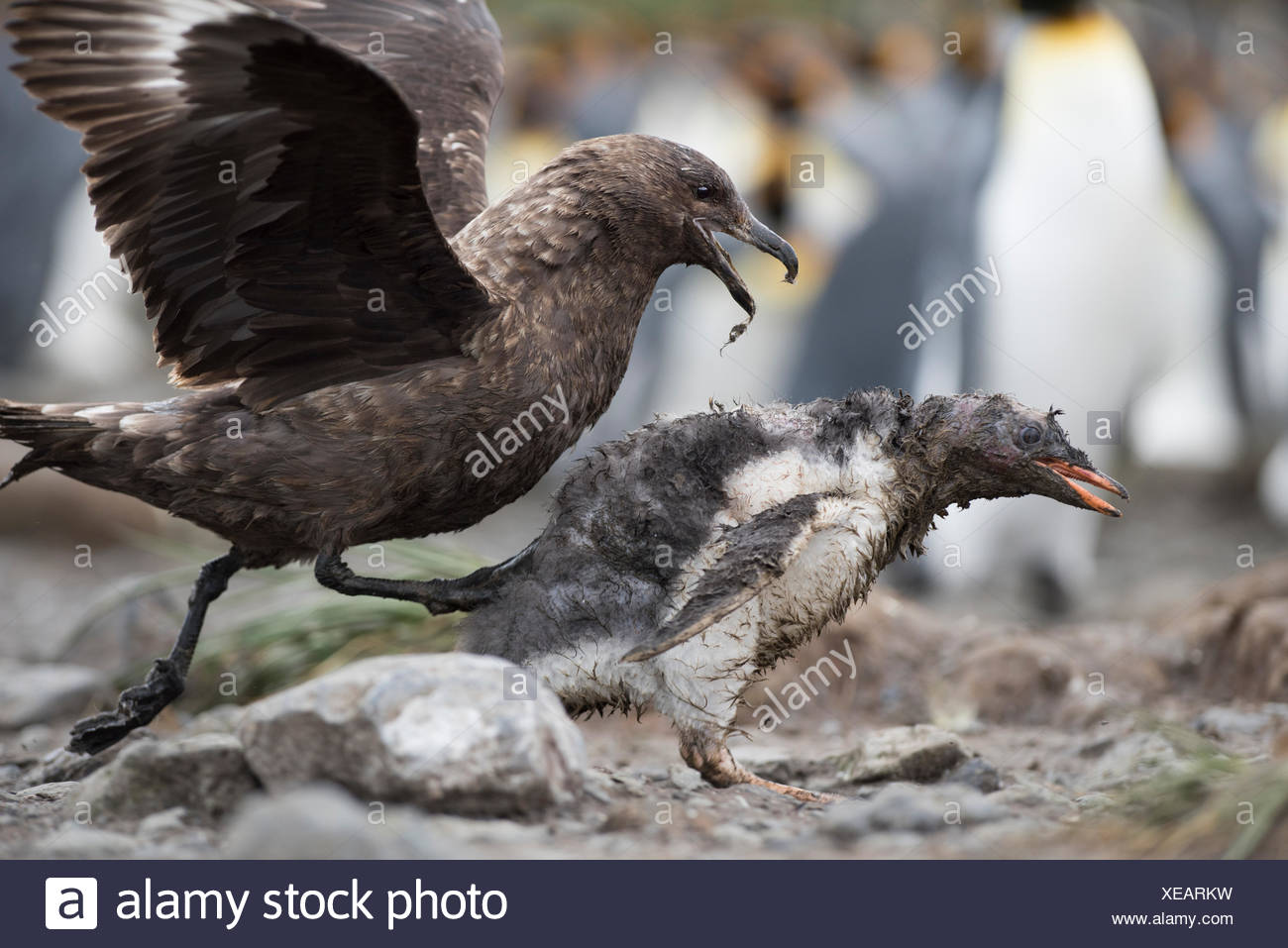 Brown Skua Stercorarius antarcticus attacking a Gentoo Penguin Pygoscelis papua chick that has wandered into a King Penguin colo - Stock Image
