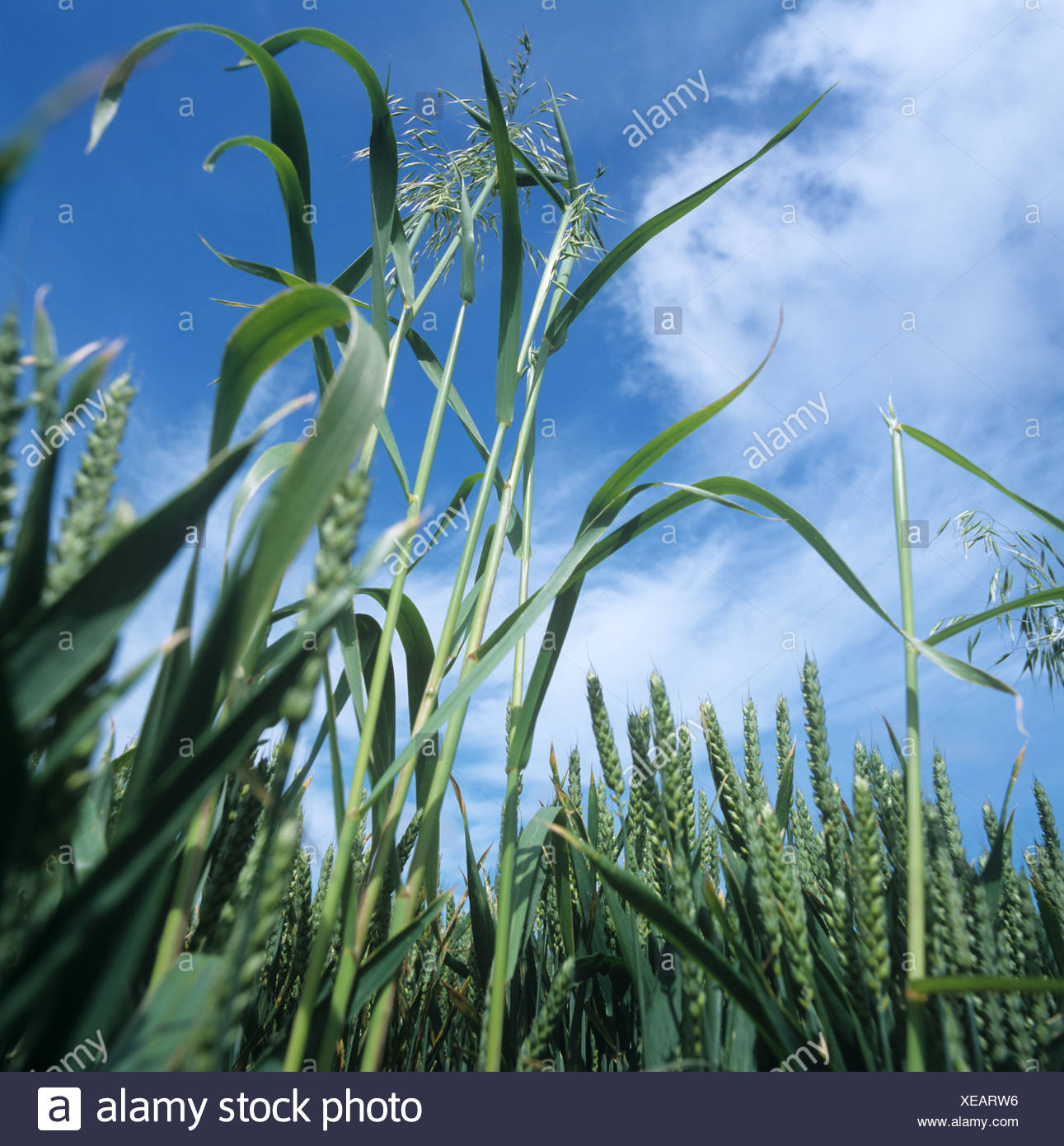 Wild oats Avena fatua annual arable grass weeds flowering panicles in a wheat crop in ear Stock Photo