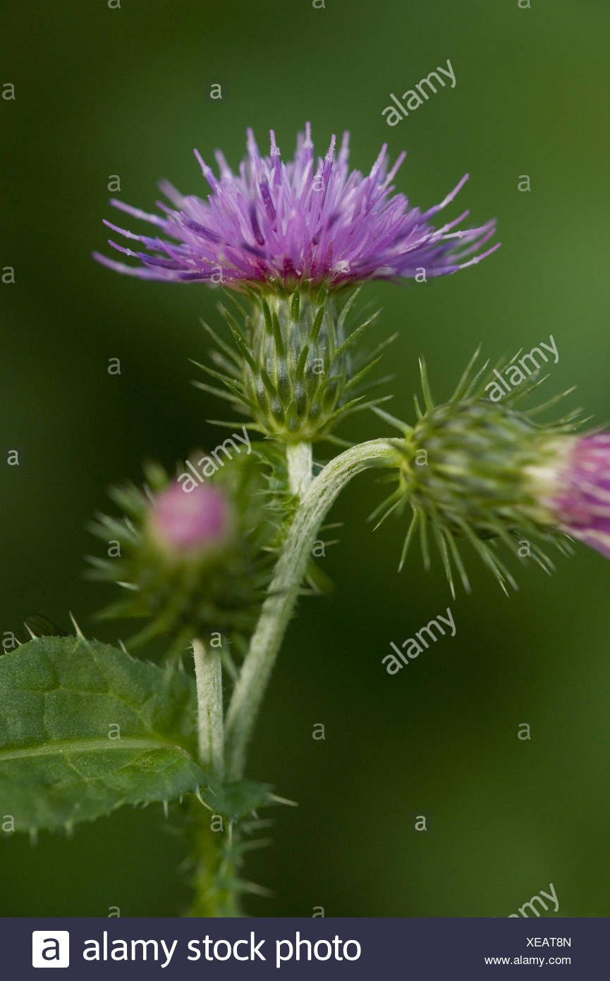 welted thistle, carduus crispus - Stock Image