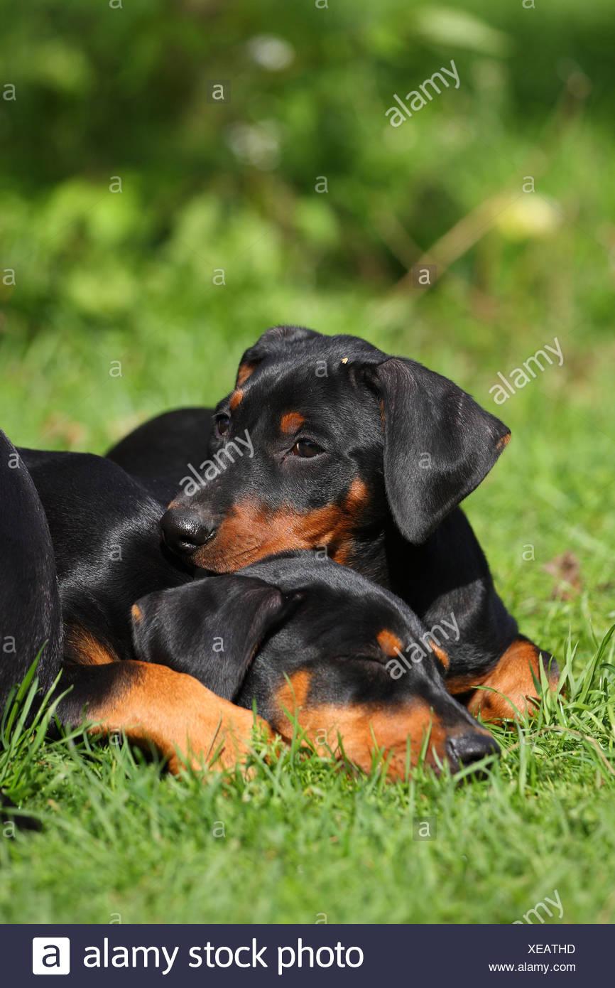German Pinscher Puppies Stock Photo
