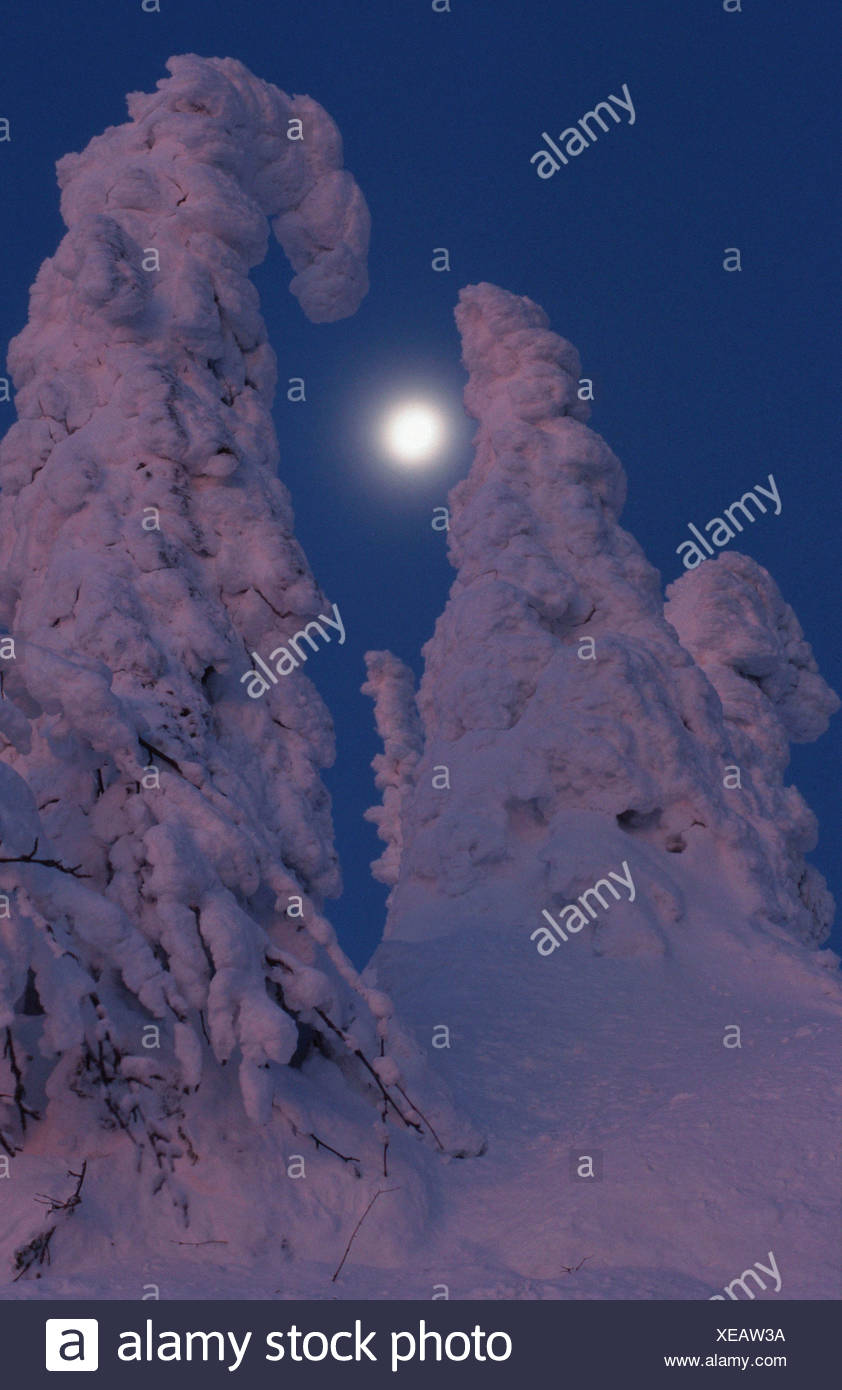 Snow covered trees / Schneebedeckte Baeume - Stock Image