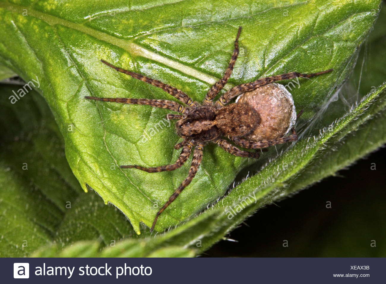 wolf spider, ground spider (Pardosa amentata), female with cocoon - Stock Image