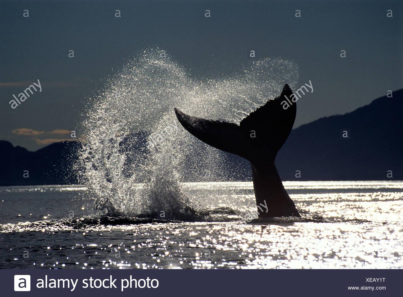Humpback whale lobtailing, Icy Strait, Southeast Alaska - Stock Image