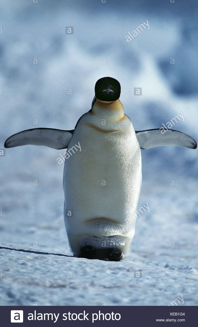 emperor penguin (Aptenodytes forsteri), walkinkg with an egg between his feet - Stock Image