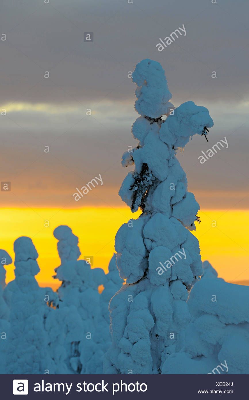 snow covered spruces in evening light, Finland, Kuusamo - Stock Image