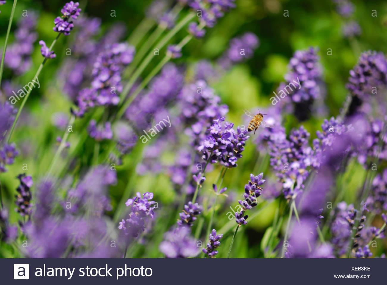 bloom blossom flourish flourishing lavender shrub cultigen insect bee blue Stock Photo