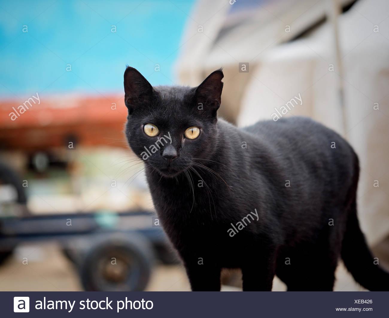 Portrait Of Black Cat Outdoors - Stock Image