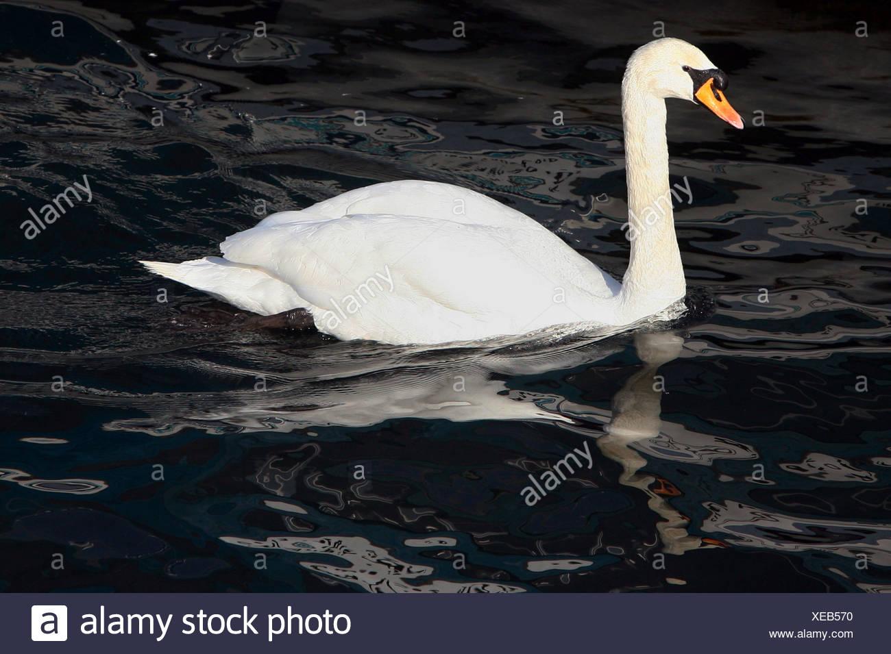 Zurich, Switzerland, mute swan - Stock Image