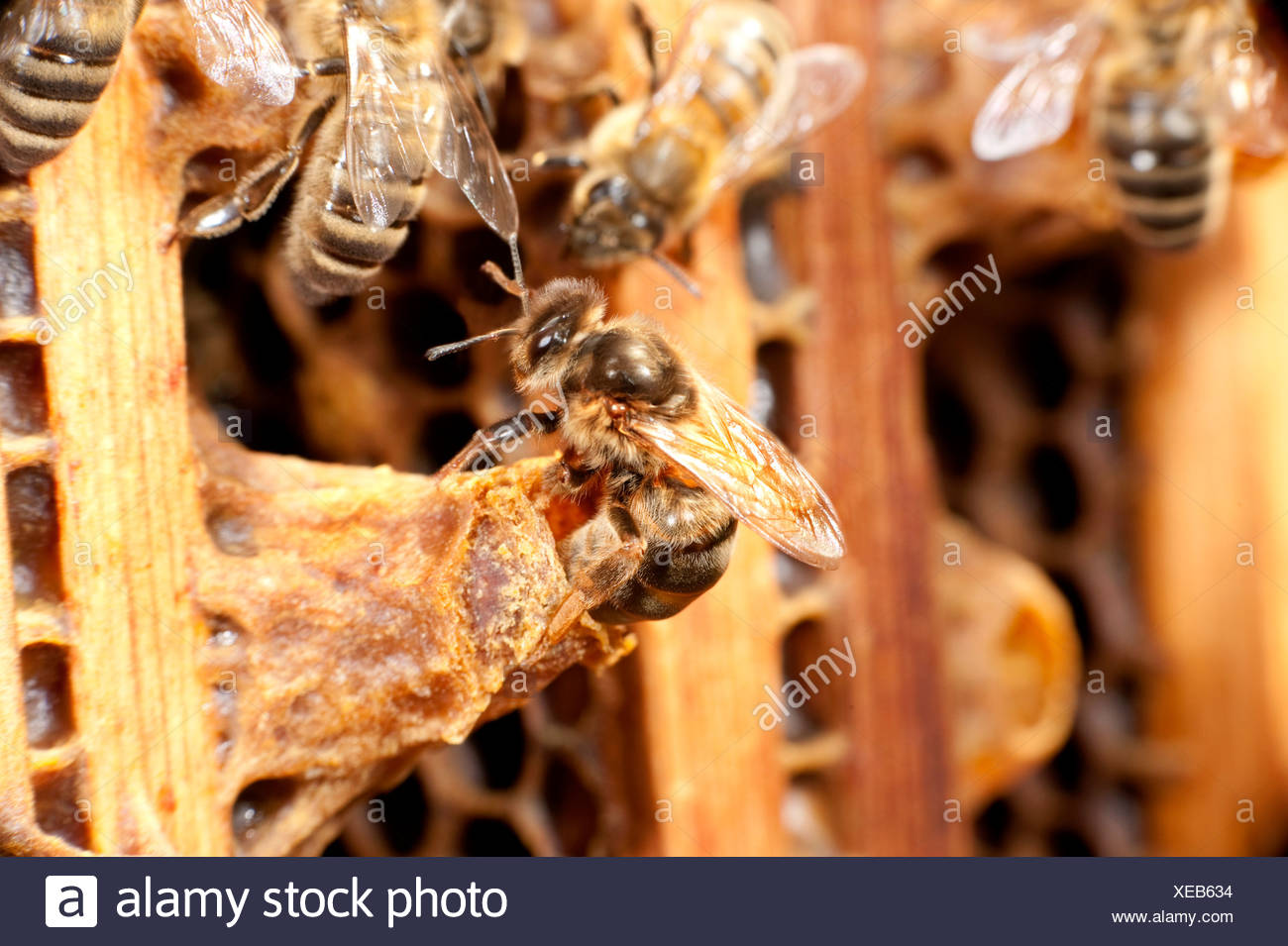 New Queen Honey Bee hatching from queen cell within hive Apis mellifera Kent UK - Stock Image