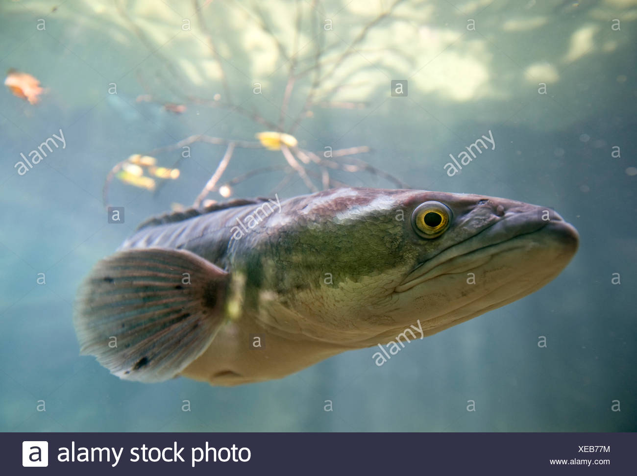 Giant snakehead / Toman (Channa micropeltes)Found in freshwater / flooded swamp areas. From SE Asia including Borneo. Captive, Singapore Zoo - Stock Image