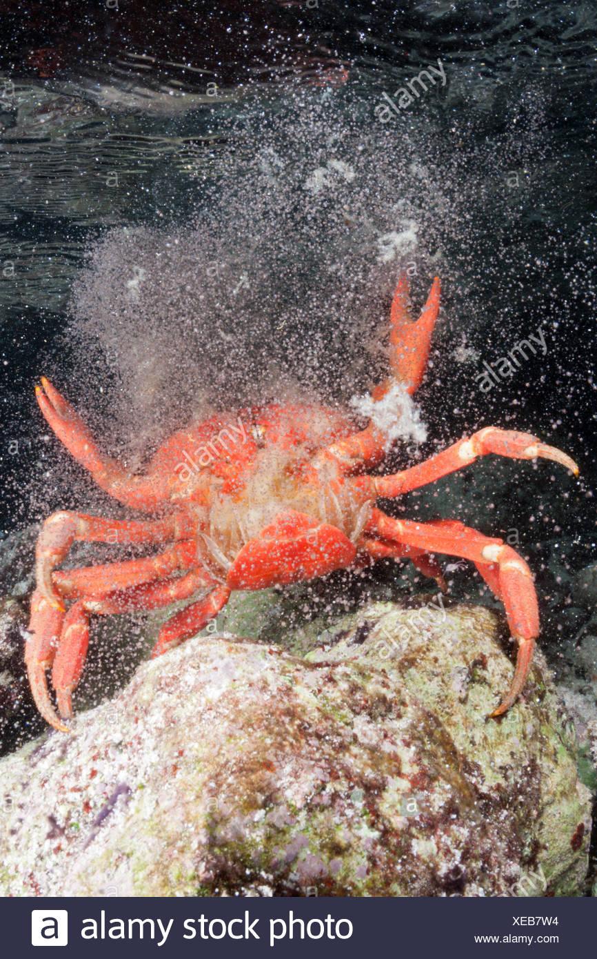 Christmas Island Red Crab Release Eggs Into Ocean Stock Photos