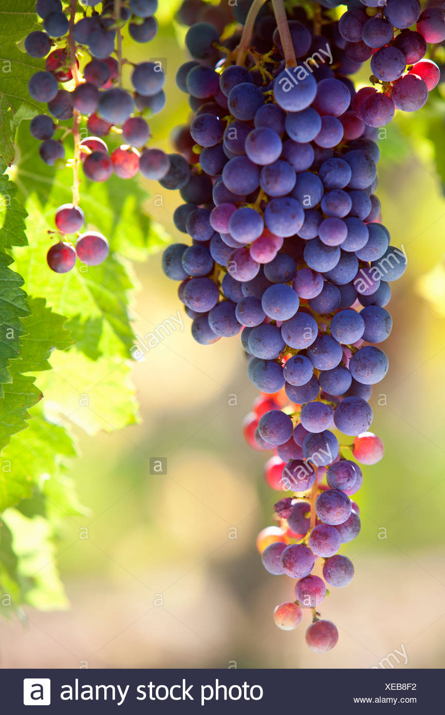 Bunch of purple grapes growing on vines in vineyard - Stock Image