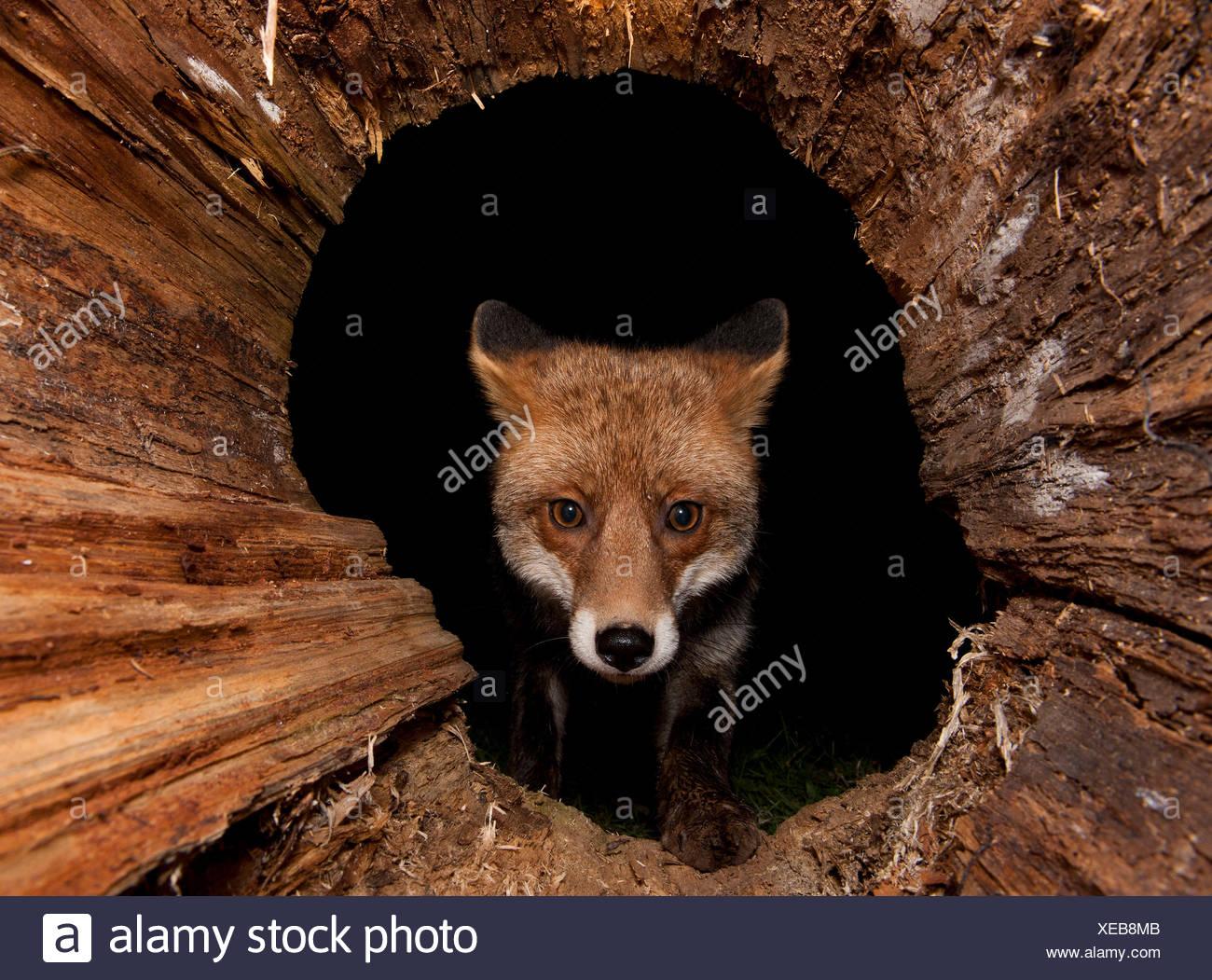 Red Fox / (Vulpes vulpes) - Stock Image