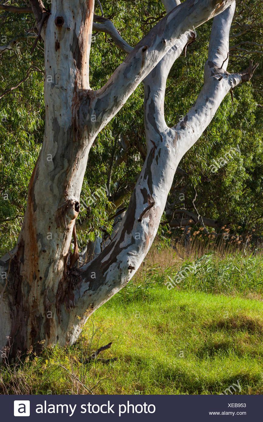 Strathalbyn, Australia, south Australia, eucalyptus - Stock Image