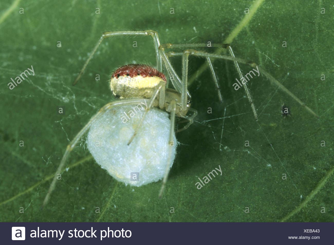 red-and-white spider (Enoplognatha ovata, Enoplognatha lineata, Theridion redimitum), female with cocoon - Stock Image