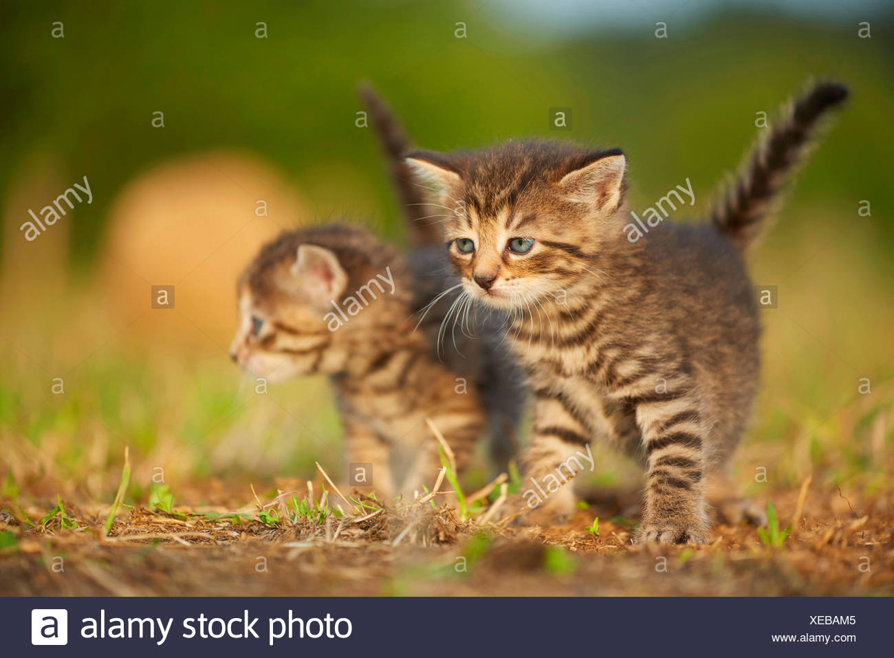 domestic cat, house cat (Felis silvestris f. catus), kitten with one sibling in a meadow, Germany Stock Photo