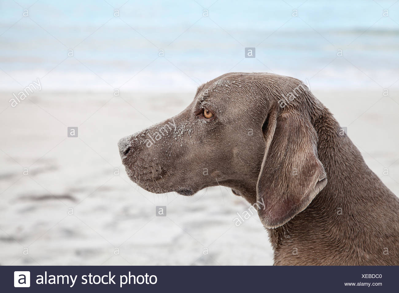 Weimaraner Dog Eyes Stock Photos & Weimaraner Dog Eyes Stock
