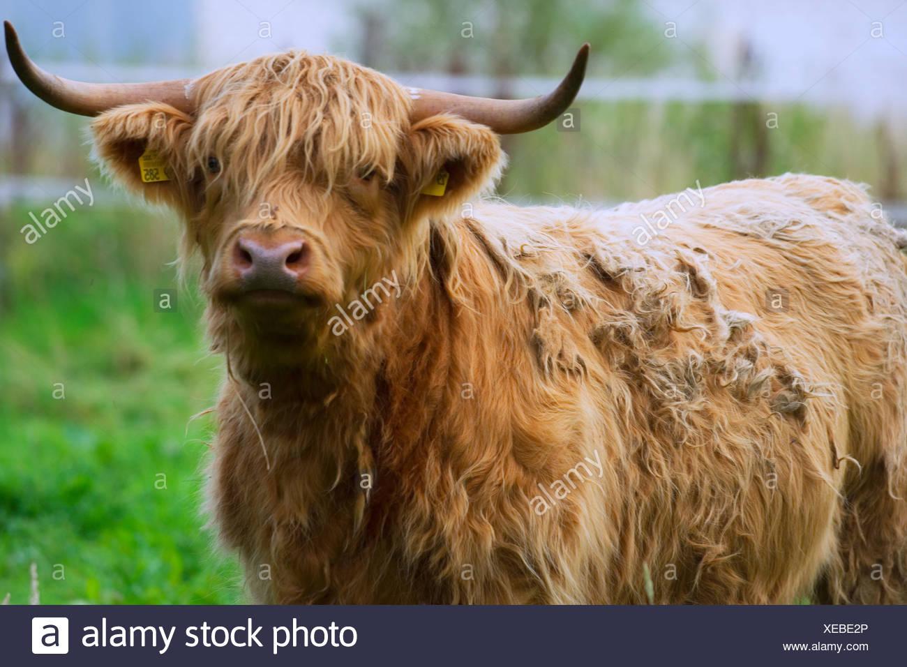 ox - Stock Image