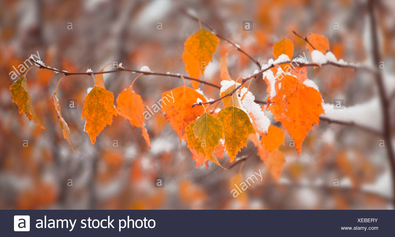 Birch leaves with fresh snowfall - Stock Image