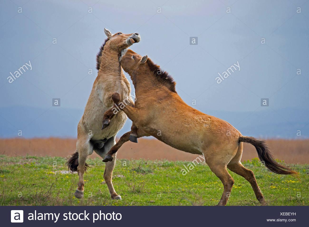 Przewalskis Horse, Mongolian Wild Horse (Equus ferus przewalskii) Stallions fighting Lake Neusiedl Austria - Stock Image
