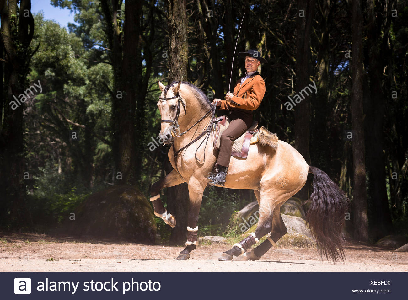 Lusitano. Dun stallion with rider performing a pirouette. Portugal - Stock Image