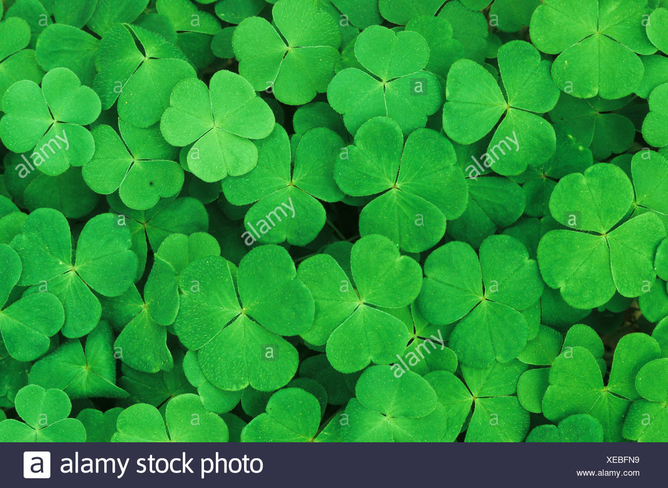 nature plants plant sour clover clover green color wood forest forest ground - Clover Color