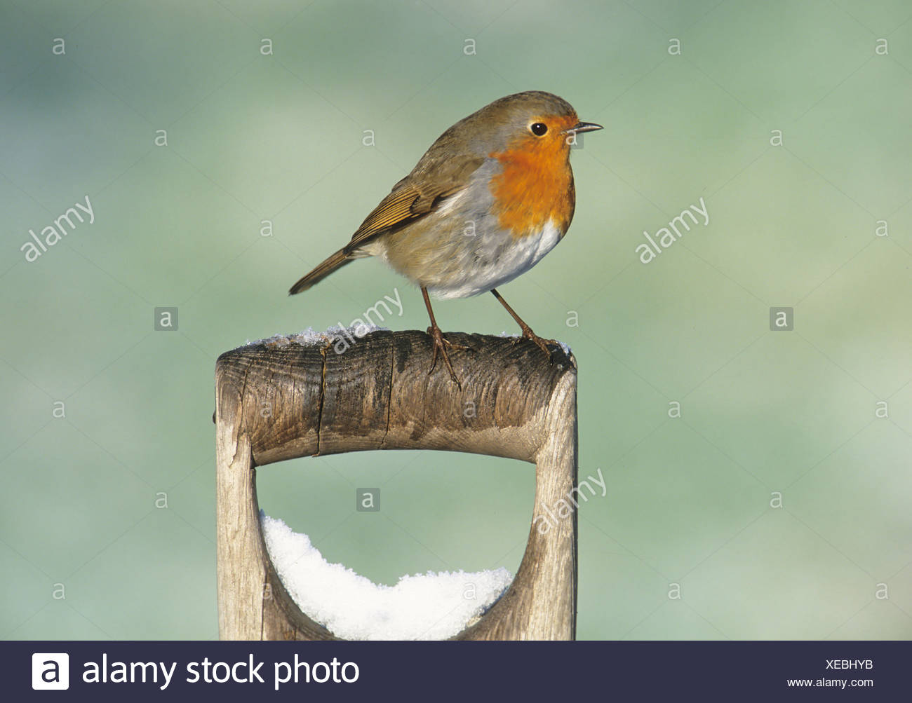 Robin Erithacus rubecula on snow covered spade handle in garden Kent UK winter - Stock Image
