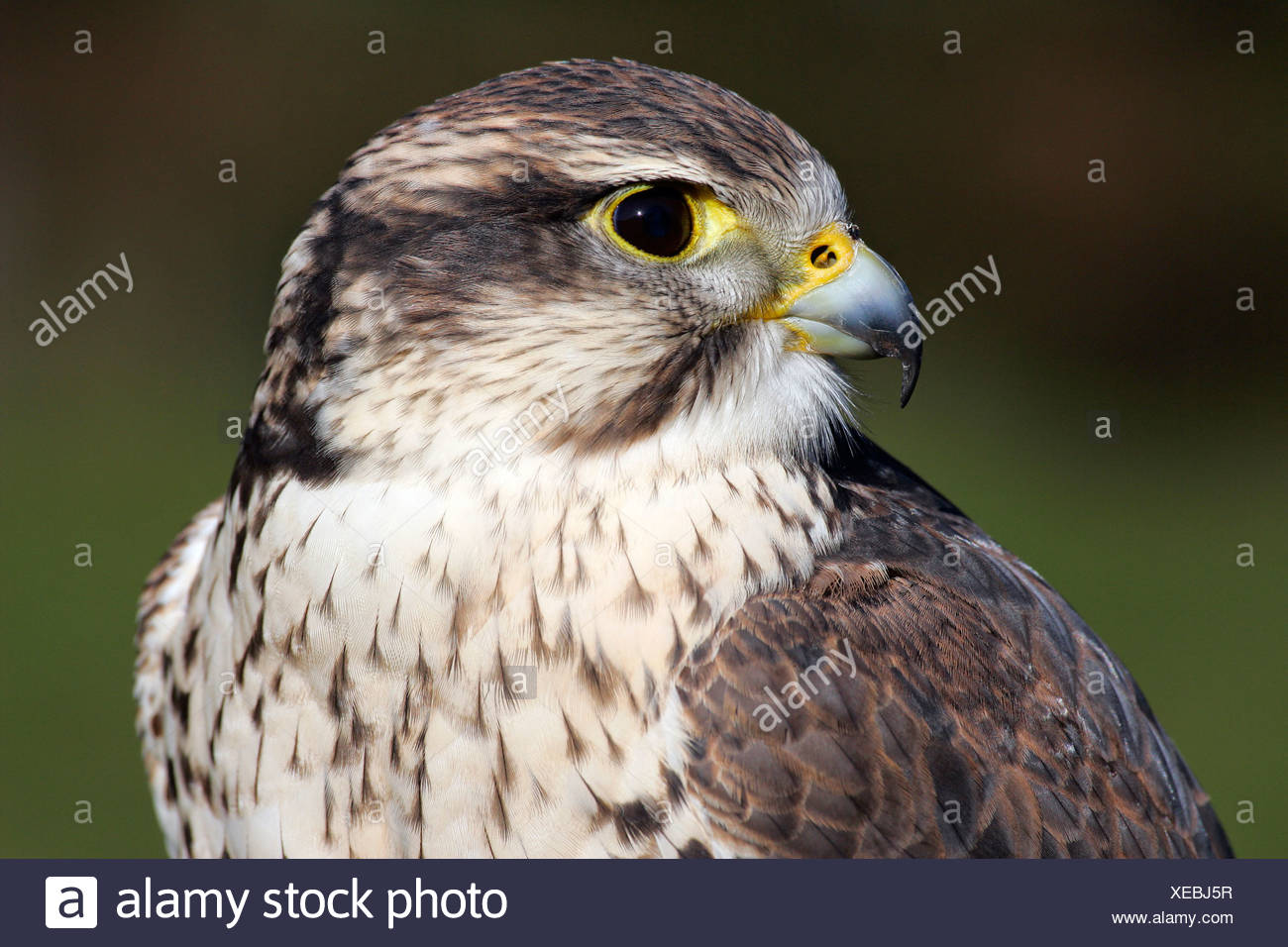 Saker falcon - portrait (Falco cherrug) - Stock Image